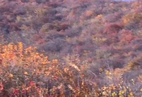 北京坡峰岭地区进入红叶观赏期