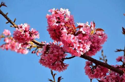 南涧冬樱花开了,即将进入最佳拍摄期
