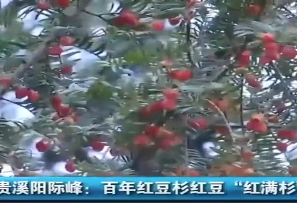 """江西贵溪阳际峰:百年红豆杉红豆""""红满杉"""""""