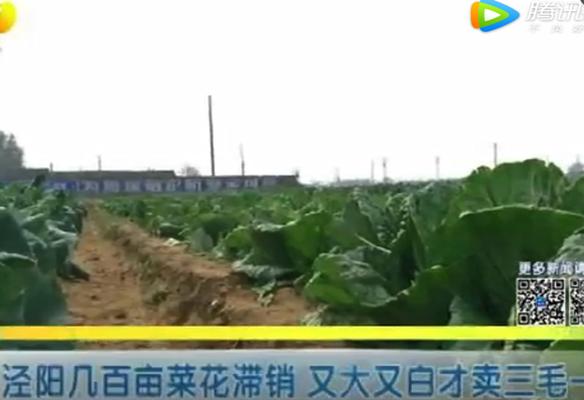 泾阳几百亩菜花滞销 又大又白才卖三毛一斤